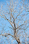Brazoria County, Damon, Texas; branches of a pecan tree against a blue sky in winter