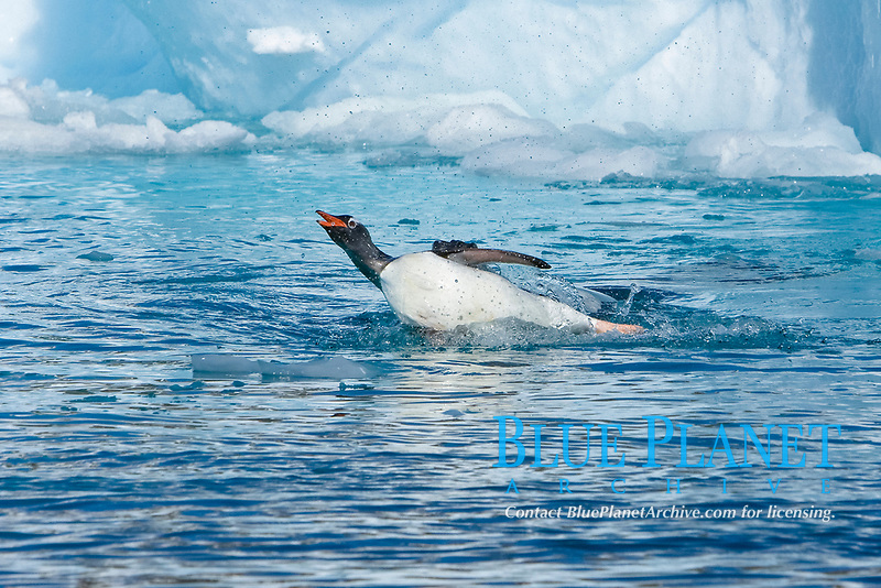 An adult leopard seal (Hydrurga leptonyx) among the icebergs at Cierva Point on the Danco Coast of the Antarctic peninsula, southern Ocean This leopard seal stalked, killed, and ate a gentoo penguin, Pygoscelis papua, among the ice.