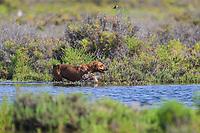 A dog walks and swims among vegetation exploring the saltwater wetland from the sea at the Ramsar site, lagoon and La Cruz estuary in Kino viejo, Sonora, Mexico.<br /> (Photo: Luis Gutierrez / NortePhoto.com<br /> <br /> Un perro camina y nada entre vegetación explorando el humedal de agua salada proveniente del mar en el sitio Ramsar, laguna y estero La Cruz en  Kino viejo, Sonora, Mexico. <br /> (Photo: Luis Gutierrez / NortePhoto.com).