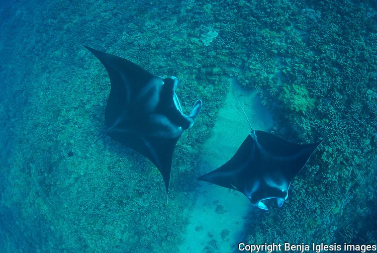 Two big mantas over the reef at Ukumehame Maui Hawaii.