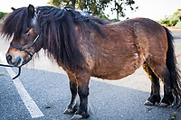 Figaro is a miniature horse recently spotted preparing for a walk with his person at the Martin Luther King Jr. Regional Shoreline.  He has an apartment in Oakland, California, and occasionally appears at children's birthday parties.