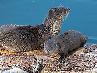 Trout Lake is an excellent place to see otters in summer.