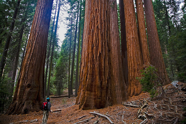 A hiker admires the size of a stand of giant sequoias in Redwood Canyon at Sequoia National Park,California