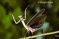 1M26-024z  Praying Mantis adult displaying to intruder - Tenodera aridifolia sinenesis