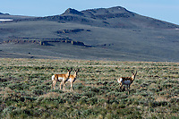 Pronghorn Antelope at Hart Mountain National Antelope Refuge, Oregon.  Early May.