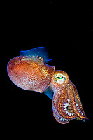 Stubby Squid, Rossia pacifica, a species of bobtail squid from the North Eastern Pacific Ocean Victoria, Vancouver Island, Canada.