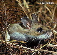 MU08-005z   White-Footed Mouse - emerging from home - Peromyscus leucopus