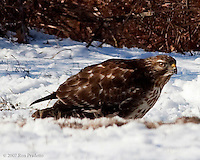 This was an injured red tailed hawk that came into our back yard for well over a month between Christmas of 2007 and February of 2008. These photos were taken sometime in January. He had an injured wing, he was still able to fly, but not well enough to hunt. We have about 14 acres on a ridge in southeastern Ohio. Our yard backs up to large tracts of woods. We actually consider it a wild game preserve of sorts and put out food for all the animals. Coyotes come up, a huge grey fox, numerous coons, (these could thin out a little) many wild turkey and Deer. We also have every known bird to the area stop by, most every day, others just once in a while. We've had a carrier pigeon stop at our feeding spot for a couple of days a few years ago. Didn't get his picture, but he sure was beautiful. Also a whole flock of cedar waxwings showed up one winter. .