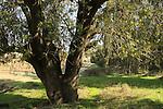 T-159 Mount Tabor Oak tree in Maresha Forest
