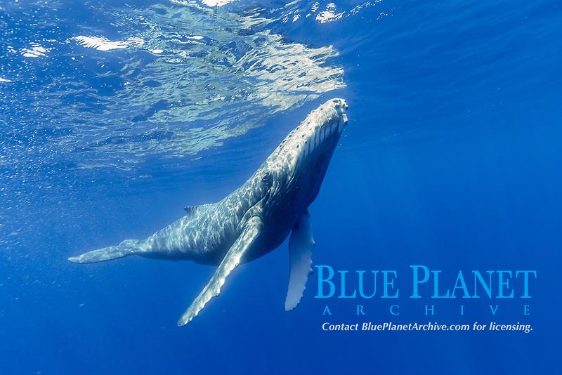 humpback whale, Megaptera novaeangliae, calf, Chichi-jima, Bonin Islands, Ogasawara Islands, Natural World Heritage Site,  Tokyo, Japan, Pacific Ocean