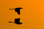 African Jacana (Actophilornis africanus) flying at sunset, Kruger National Park, South Africa