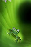 Montane Glass Frog (Centrolenella ilex) inside curled leaf. Mid-altitude rainforest, Bosque de Paz, Pacific slope, Costa Rica, Central America.