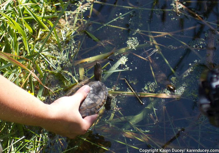 A Western Pond Turtle is released into natural habitat in Lakewood, Washington by staff from the Woodland Park Zoo.  Over 100 of them were released as part of a conservation effort to restore their species.