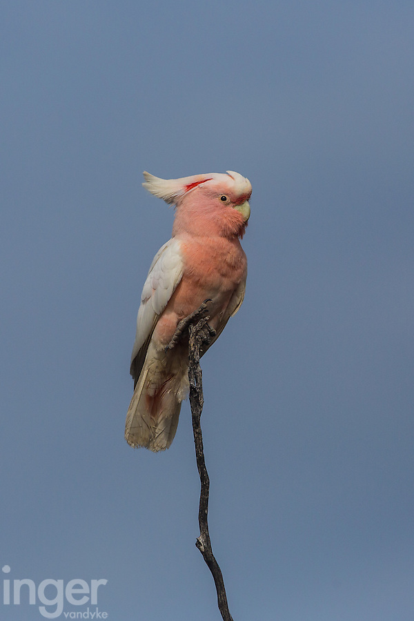 Major Mitchell Cockatoo at Eyre Bird Observatory in Western Australia