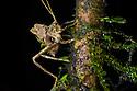 Moss-mimicking Katydid juvenile {Tettigoniidae}. Central Caribbean foothills, Costa Rica. May.