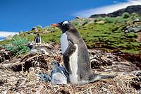 gentoo penguin, Pygoscelis papua, on nest with chicks, Falkland Islands, British Overseas Territories, United Kingdom, South Atlantic, Atlantic