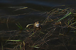 Eastern American Toad calling for a female
