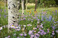 Erigeron speciosus macranthus, Aspen Daisy, Showy Fleabane, Lupinus argenteus silvery lupine, meadow grass wildflowers in forest opening with white bark aspen tree, Rocky Mountain National Park Colorado