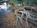 Skidaway Island State Park, GA<br /> Tangled roots of a cedar tree leaning over the salt water marsh