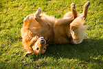Golden Retriever rolling around in the grass