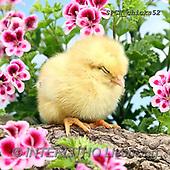 Xavier, EASTER, OSTERN, PASCUA, photos+++++,SPCHCHICKS52,#e#, EVERYDAY ,chicken