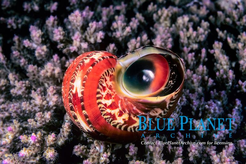 Turban snail, Turbo petholatus, on hard coral, Pocillopora sp., Wakatobi, Indonesia, Pacific Ocean