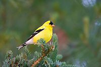 American goldfinch, male, Spinus tristis, perched on twig in winter, Nova Scotia, Canada