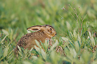 Brown Hare, Lepus europaeus, National Park Lake Neusiedl, Burgenland, Austria, April 2007