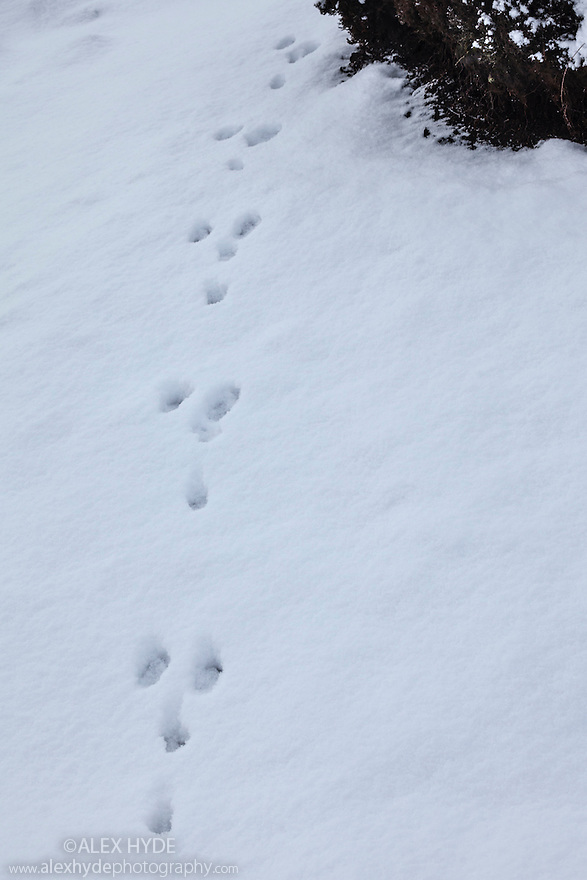 Tracks of a Mountain Hare (Lepus timidus) in snow. Peak District National Park, January.