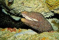 eel poking head out of crevice in underwater exhibit. Camden New Jersey, Kean State Aquarium.
