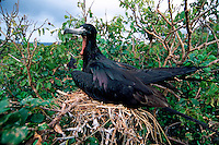 Magnificent frigatebird, Fregata magnificens, nesting, Isabella Is., Mexico, Eastern Pacific