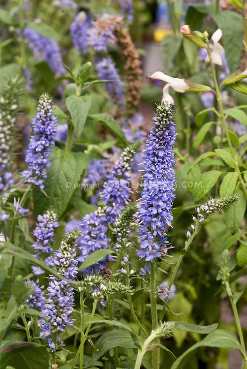 Veronica Atomic Sky Ray, Blue flowers speedwell