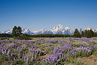 Silky Lupine (Lupinus sericeus) and Grand Teton Range, Grand Teton National Park, Wyoming, USA