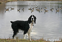 1219-0903  English Springer Spaniel with Flock of Canadian Geese in Background, Canis lupus familiaris  © David Kuhn/Dwight Kuhn Photography