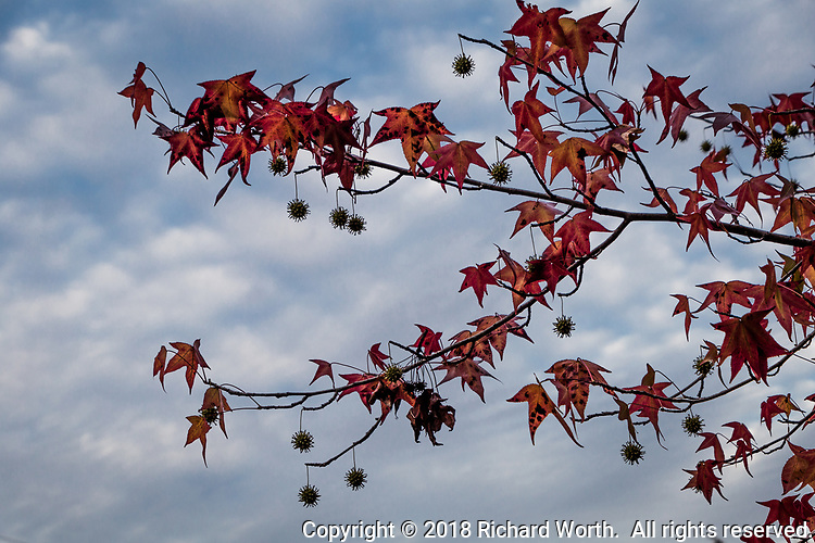Seed pods dangle like ornaments from the limbs and among the leaves of a Sweet gum tree against a sky of puffy clouds with hints of blue.