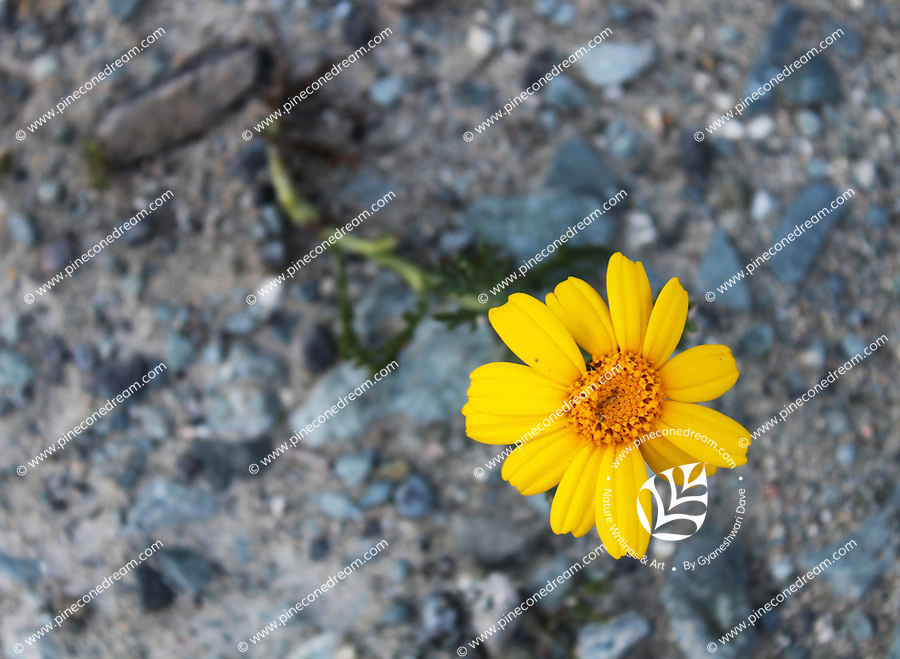 """Beautiful yellow daisy flower grown on stony ground stock photo.<br /> <br /> This image is also available in monochrome. View the gallery-""""Black & White Fine Art Images""""."""