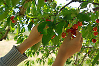 Girl's hands picking cherries from tree (Licence this image exclusively with Getty: http://www.gettyimages.com/detail/91934860 )