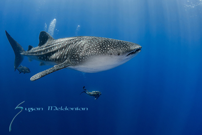 Whale Shark and a diver, Rhincodon typus