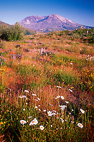 Oxe eye Daisies and Mt. St. Helens, Mt. St. Helens National Volcanic Monument, Washington, US