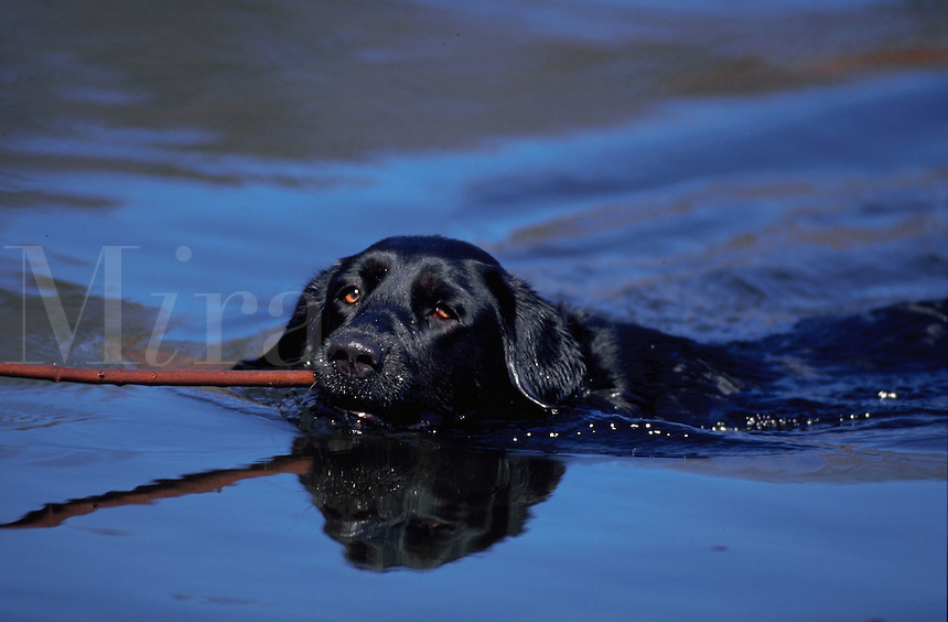 A Black Labrador Retriever swims with a stick in its mouth.