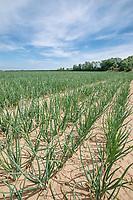 Onion sets - Lincolnshire, June