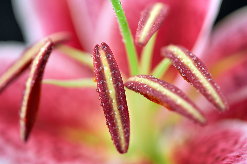 Close up of stamens and pistil in a Star Gazer Lily. Pollen just opening