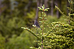Singing dark-eyed junco in the Smoky Mountains
