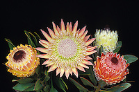 "Protea flowers, """"King """" (P. cynaroides) and  """"Queen"""" (P. magnifica)"