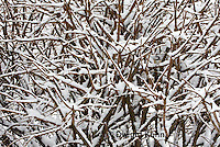 1J04-513z  Black-capped Chickadee, camouflaged on snow covered branches,  Poecile atricapillus or Parus atricapillus