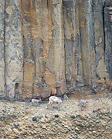 Bighorn sheep pick their way along the base of columnar basalt cliffs in the Grand Canyon of the Yellowstone.