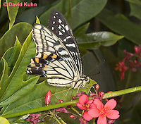 0401-08pp  Anise Swallowtail Using Proboscis to Suck Nectar from Flower, Papilio zelicaon © David Kuhn/Dwight Kuhn Photography