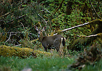 A mule deer in the rainforest of the Olympic National Park, Washington