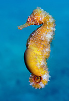 slender seahorse, or longsnout seahorse, Hippocampus reidi, pregnant male, Lake Worth Lagoon, Blue Heron Bridge, Riviera Beach, Florida, USA, Atlantic Ocean