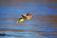 Green-winged teal taking flight.